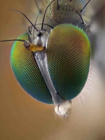 Top 16 ideas about Order Diptera on Pinterest | Japanese ... Fly Eyes
