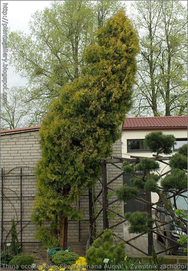 https://flic.kr/p/9GmQND | Thuja occidentalis 'Ellwangeriana Aurea' - Żywotnik zachodni | see more : plantsgallery.blogspot.com/2010/05/thuja-occidentalis-ell...