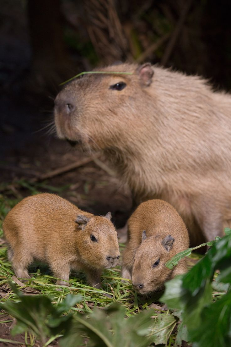 Cabybara and her week old  babies at Auckland Zoo.