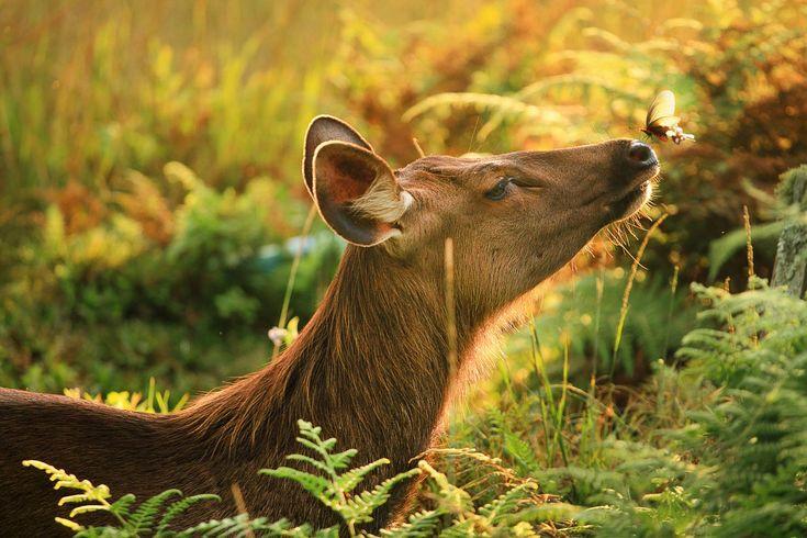 Sambar deer and butterfly