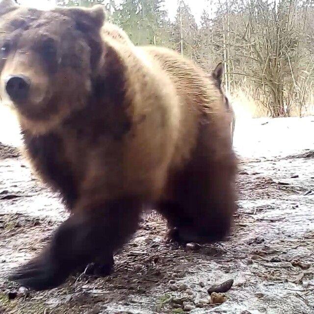 Здоровый, сильный и в расцвете лет, В одном лесу спокойно жил #медведь. Он самолично в том большом лесу Вершил #закон, #политику и #суд.  Ну, а поскольку сильно #мёд любил, Он, как домой на пасеку ходил. Грозил всем #лапой и на всех #рычал, Лесной #народ всё видел, но молчал.  А в том лесу с времён тех давних, древних, Стояла, тоже старая, #деревня. И в той деревне, с каждой подворотни, #Собак на #Мишку тявкало с полсотни.