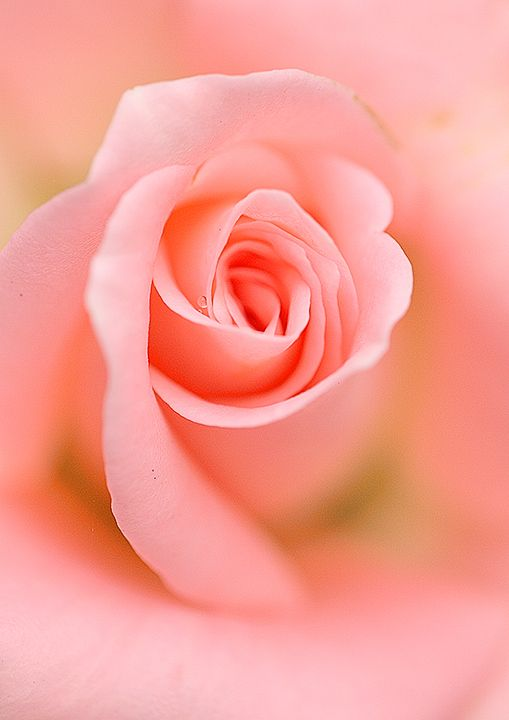 17 best ideas about coral roses on pinterest pretty - Rosas color coral ...