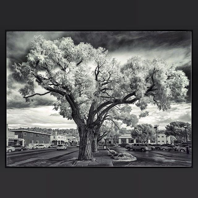 Neighborhood Street Tree #albanyca #solanoave #eucalyptus #streettrees #sky #clouds #ir #infrared #infraredphoto #infraredcamera #infraredphotography #bnw #bnwphotography #bnw_city_streetlife #bnw_trees #treestagram #treescape #tree_captures #träd #Árbolesblancos #Baum #bomen #ağaçlar #crainn #Δέντρα #Puut #درختان #木 #trær #дерева by jimcallum