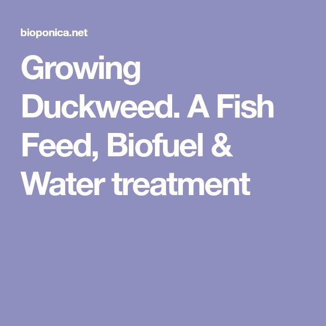 Growing Duckweed. A Fish Feed, Biofuel & Water treatment