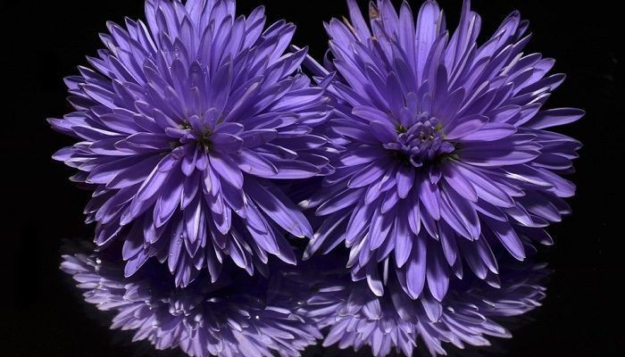 Aster Flower Meaning Symbolism And Colors Tipos De Flores Flor Aster Flores Roxas