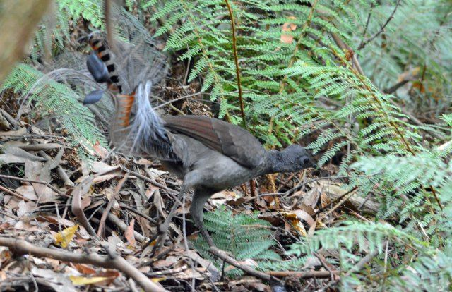 Lyrebird. Sherbrooke Forest, Victoria Australia. Photo: David Clode.
