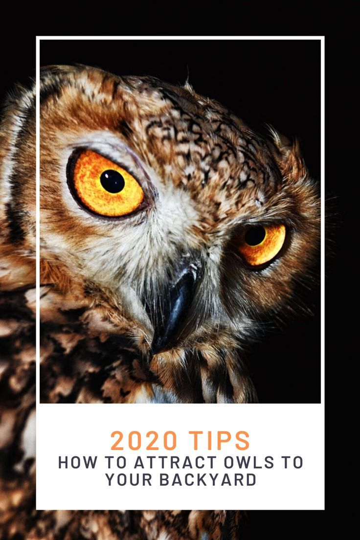 Top Tips On Attracting Owls To Your Yard Owl Attract Wild Birds Attraction