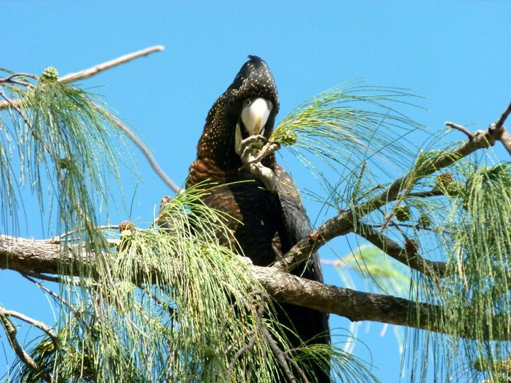 Darwin Australia, Black Cockatoo.  Munching on some seeds from the tree its perched on over looking the Ocean.  Yum, yum.