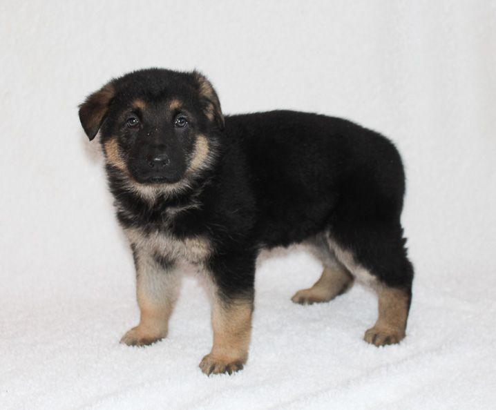 Hallie A Female Akc German Shepherd Puppy For Sale In Grabill