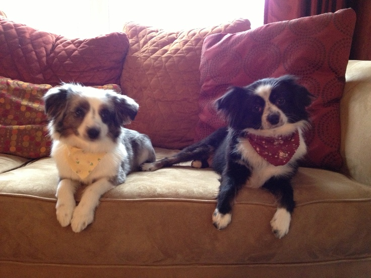 My own little furry beauties- Princess Lola and Penelope Rose, teacup Australian Shepard's.
