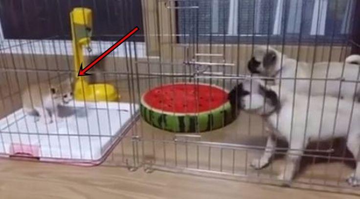 Video : Dua Anjing Besar Ini Ternyata Takut Sama Kucing Kecil. Kamu Bakalan Ngakak Ngelihatnya