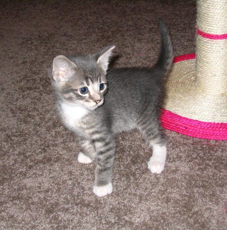 Grey and White Tabby Kitten