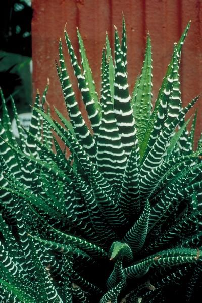 """Zebra Cactus - This plant will grow well in full sun and it requires very little water. Plants are 6"""" tall and will grow babies around the base of the mother plant. They produce small white flowers with purple pin stripes on a long outreaching stem."""