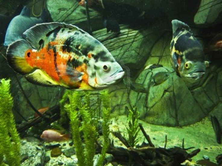 17 best images about tropical fish on pinterest cichlids for What fish is good for you