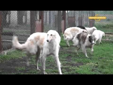 Русская псовая борзая (продолжение) Охотничьи собаки
