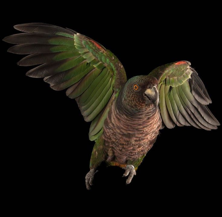 Image by @joelsartore | The Imperial Amazon parrot, or Sisserou, is the majestic national bird of Dominica, endemic to the island's old-growth, oceanic rainforest. Despite its slow reproductive rate-- a single egg usually every other year-- the Sisserou made a remarkable recovery following Hurricane David in 1979 thanks to Dominica's strong conservation ethic, national pride and leadership from government and partnering NGO's, like the Rare Species Conservatory Foundation (RSCF). Following…