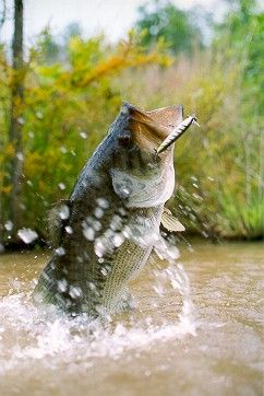 Bass photo. There's nothing like the sight of a big bass smashing your lure and dancing across the surface of the water. Bass calendars http://www.wildlife-calendars.com/bass-fishing.htm Featuring bass in action!