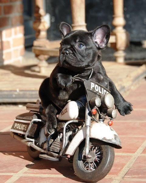 grappige franse bulldog - Google zoeken