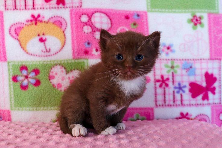 Oriental Siamese Kittens For Sale Near Me