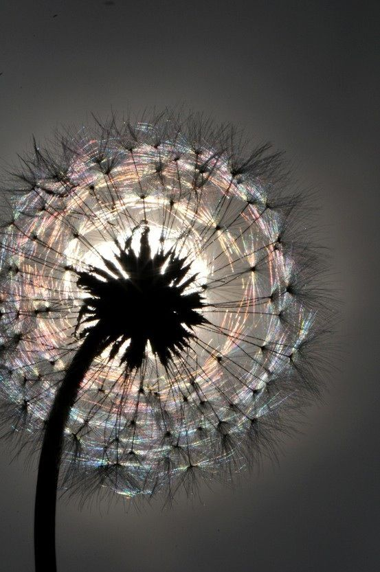 Dandelion and the sun. Stunning