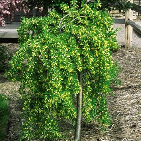 24 best images about trees that we love and use on for Small ornamental weeping trees