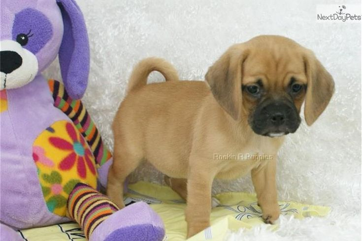 Meet Tigger a cute Puggle puppy for sale for $725. Tigger, Precious Puggle, Shipping Included