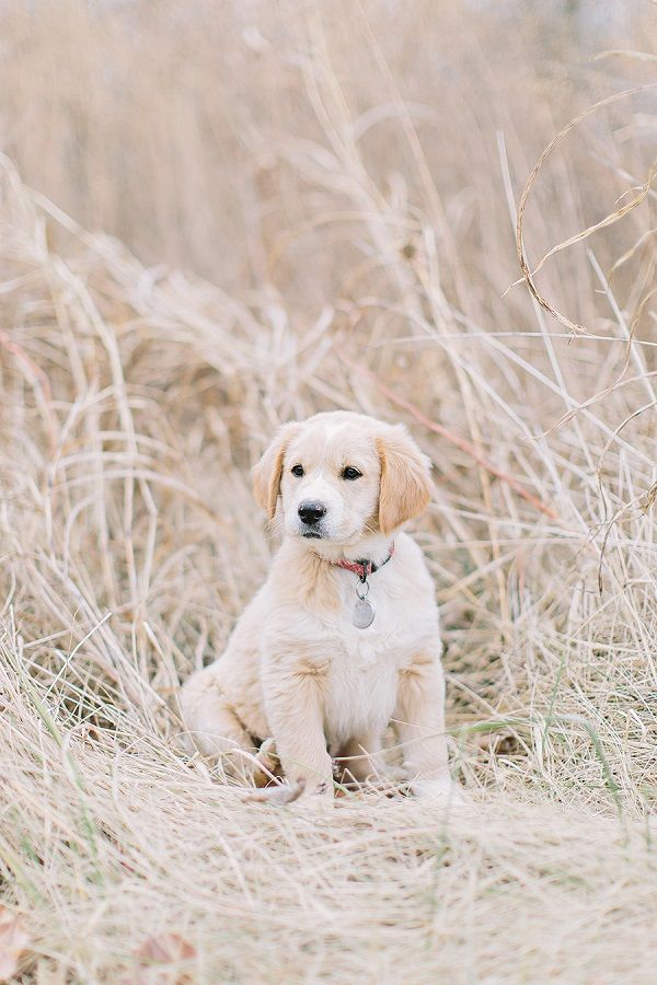 381 best images about Golden retriever on Pinterest ...