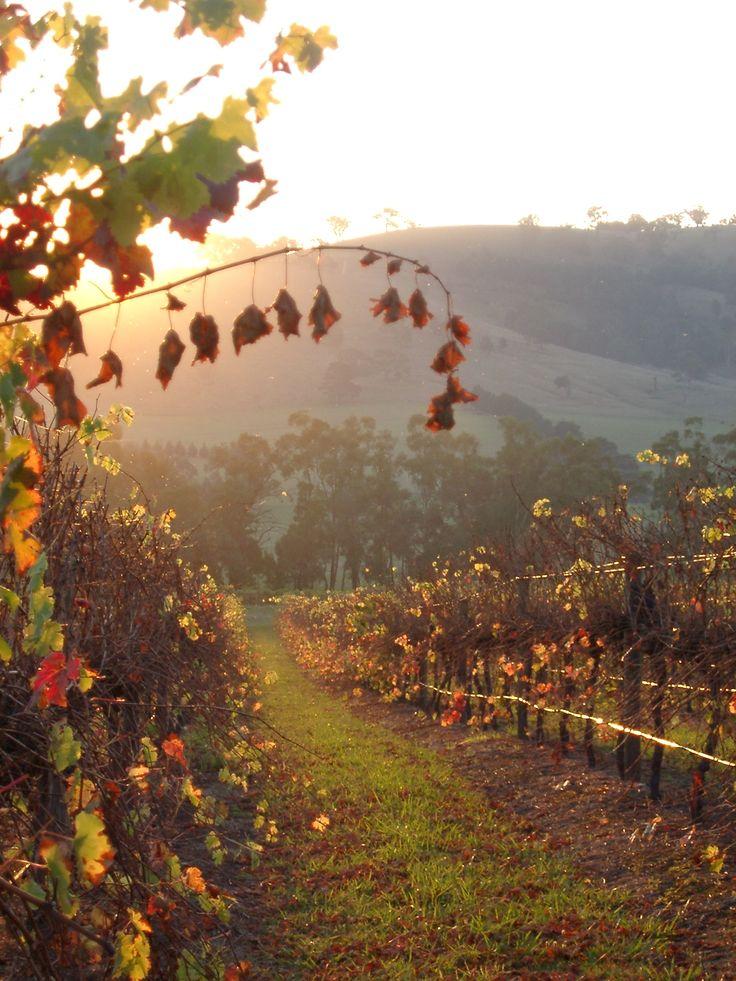 Yarra Valley Vineyard, Victoria, Australia