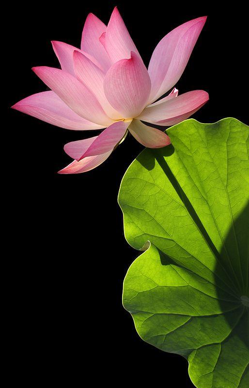 Lotus Flower - IMG_4265 | by Bahman Farzad