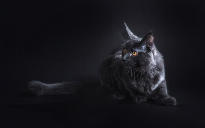 Download wallpapers Maine Coon Cat, 4k, pets, gray cat, cute animals, cats, domestic cat, Maine Coon