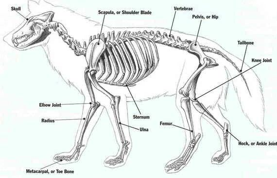 Esqueleto De Lobo Anatomia Animal Anatomia Esqueleto Dibujo