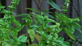 How to Prune Basil - this is from eHow, and usually I'm on the fence about trusting them, but this is the best guide I've found so far!