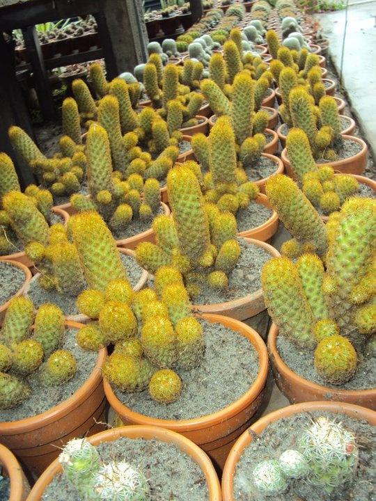Cactus nursery in Punjab, Pakistan Succulents, Cactus