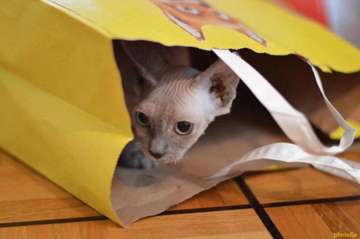 Mystic cat sphynx