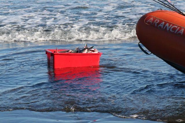 Box of freshly caught Kahawai new Whatipu Beach, Auckland, New Zealand