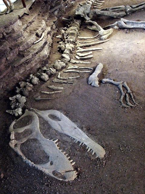 A Giganotosaurus skeleton