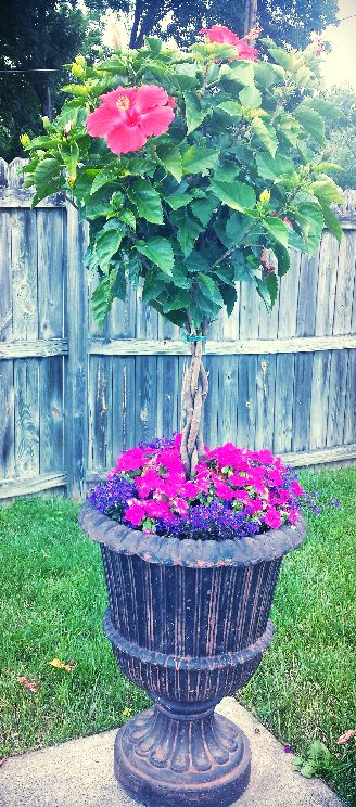 Love this! I planted Orange Hibiscus Flowering Tree with Pink Impatients and Lobelia 'Marine Blue' annuals in Large Urns by the Diving Board. Plan on using seven bug spray for the beetles in June, they love this tree. The tree can be brought in during winter in cold zones and kept alive by watering once or twice a week in a partly sunny area.