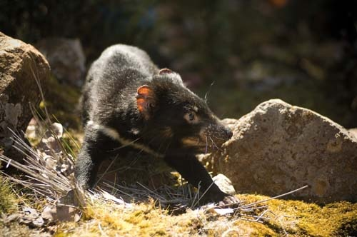 The Tasmanian devil has been reclassified from vulnerable to endangered as scientists work against the clock to find a cure or vaccine to the predator's deadly facial-tumour disease.