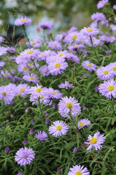 When Do Asters Flower What To Do If Aster Plants Don T Bloom Aster Flower Garden Flowers Perennials Plants