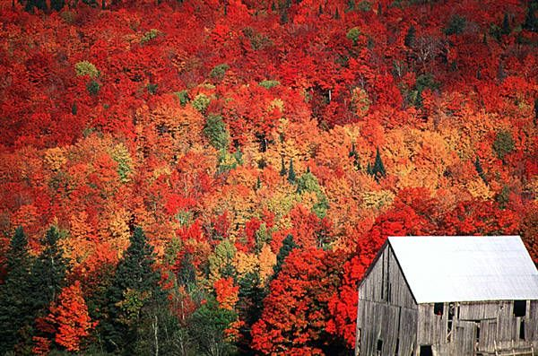 New Brunswick has the greatest variety of trees of any of the Maritime provinces. In the fall, a diverse mix of softwood and hardwood trees provide brilliant colour and mix with the dark greens of the coniferous (softwood) trees.