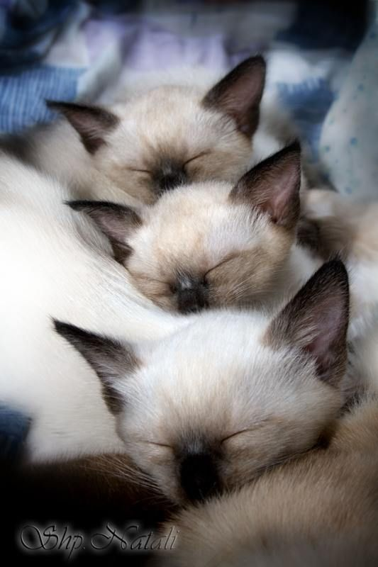 Siamese snooze.                                                                                                                                                     More