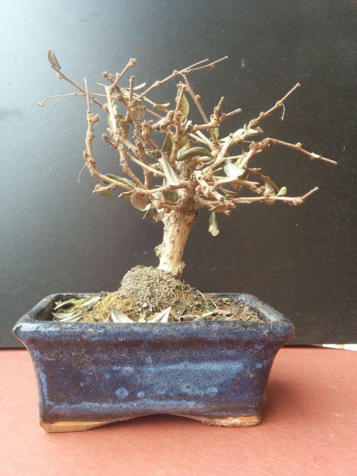 Ex-bonsai. L'opera si ottiene acquistando un bonsai e lasciandolo seccare. Incartandolo e legandolo con un cordino, la modesta opera si trasforma in un omaggio a Christo.