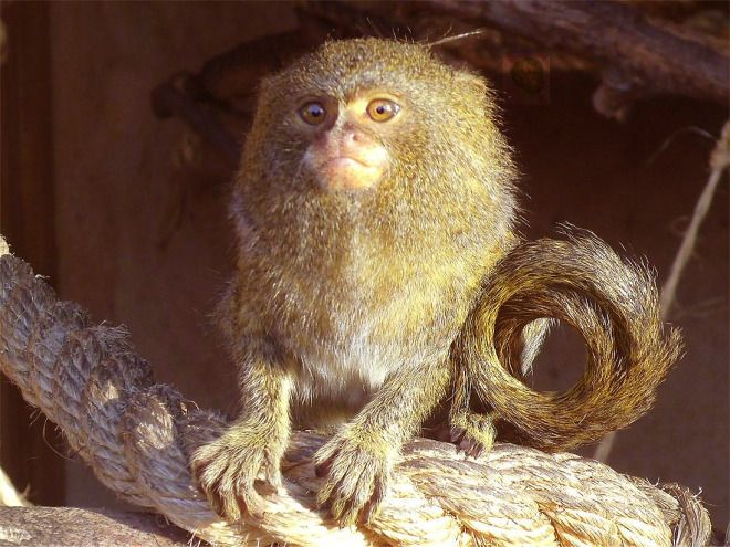Kleinste Affenart