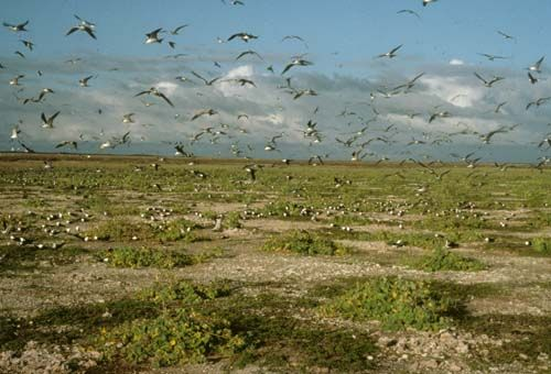 A colony of Sooty Terns takes flight at their nesting site on Jarvis Island.