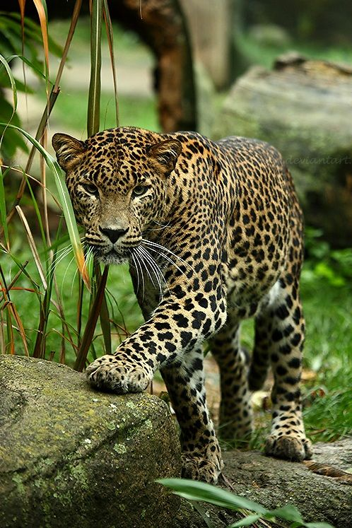 Leopard Approaching by =TVD-Photography