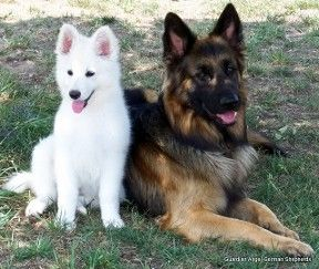 German Shepherd Puppies, German Shepherd Breeder, Long Coat German ...
