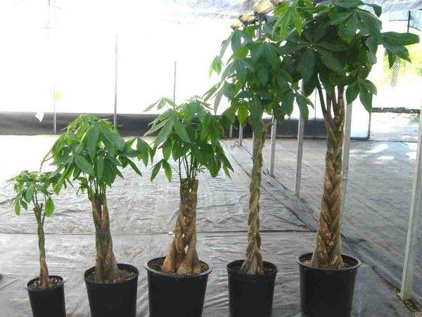 arborele-cu-bani