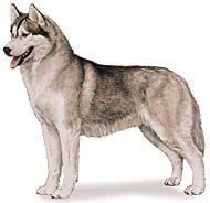 Siberian Husky Page