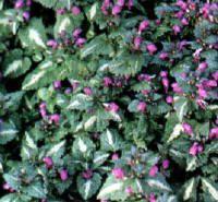 Lamium maculatum (gevlekte dovenetel) bodembedekker voor de volle schaduw groenblijvend en bontbladige variëteiten ideaal als snel groeiende bodembedekker voor aan een boskant, onder struiken en bomen. voedselrijke, goed doorlatende bodem witte, roze of paarse bloemen afhankelijk van de variëteit vanaf mei tot juni hoogte: 25 cm ± 9 planten /m²