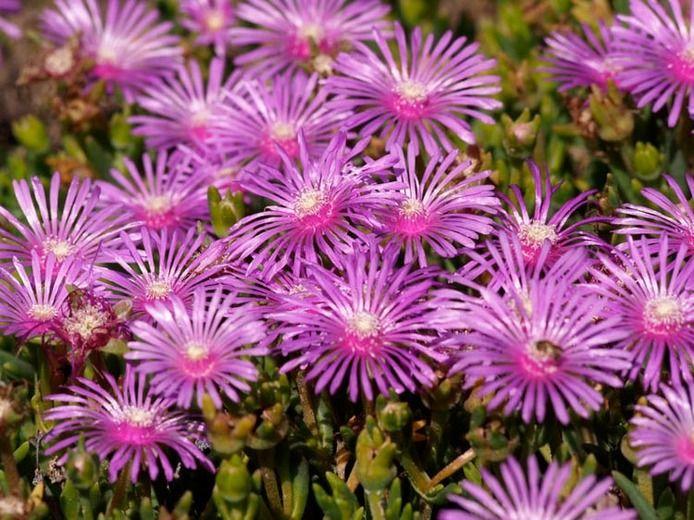 Lampranthus Spectabilis, Trailing Ice Plant, Drought tolerant perennials, purple perennial flowers, Evergreen perennial, Low maintenance perennial, perennial ground cover